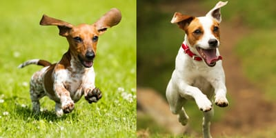 Dashchund and Jack Russell