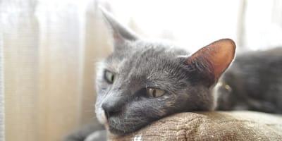 gatto triste su divano