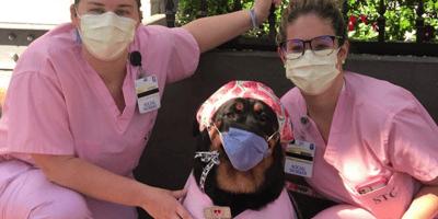 Il Rottweiler Loki aiuta pazienti e infermieri nella lotta al Covid-19