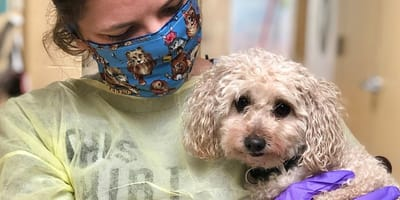 toy poodle held by carer in ppe