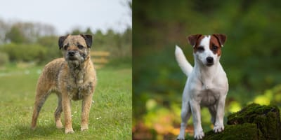 White and brown border terrier cross Jack Russell
