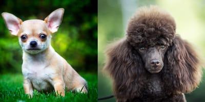 Chihuahua cross poodle