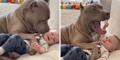 pitbull laying down with baby
