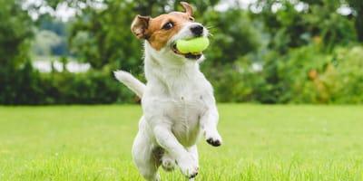 razas de perros traviesos