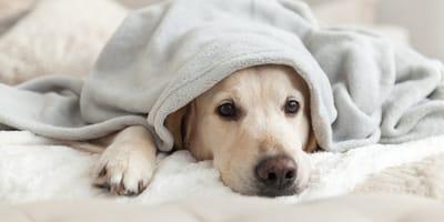 Labrador dog under a blanket