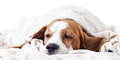 Basset Hund dog who is poorly
