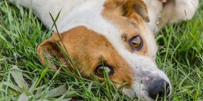 cane-disteso-sull-erba