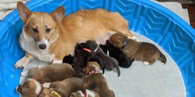 Mamma-corgi-e-cuccioli