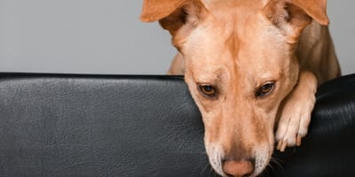 How to get rid of hemorrhoids in dogs