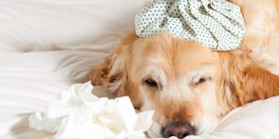 Dog flu: symptoms, treatment and prevention