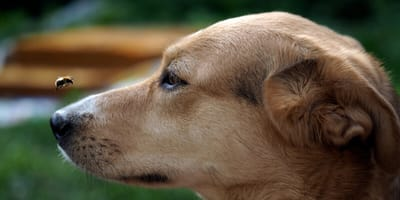 What happens if my dog eats bees?