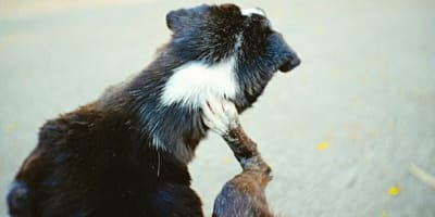 Scabies in dogs: symptoms and treatment