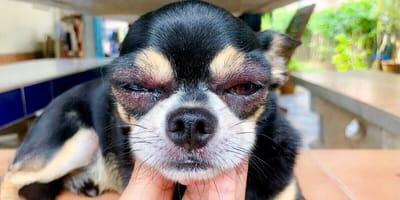 Hund hat geschwollene Augen von Allergie
