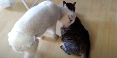 video cordero juega gato