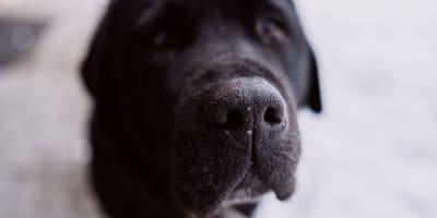 Carny pies i jego nos