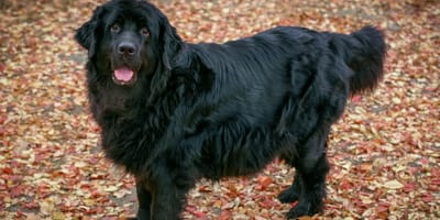 Phantom pregnancy in dogs: signs and causes