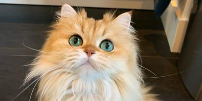 El gato más esponjoso del planeta: al tocar su cola ¡ya no saben qué decir!