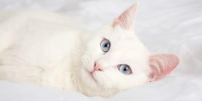 Häufig taub: Die schönsten Katzen mit weißem Fell