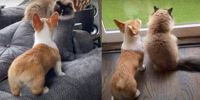 Corgi dog and ragdoll cat