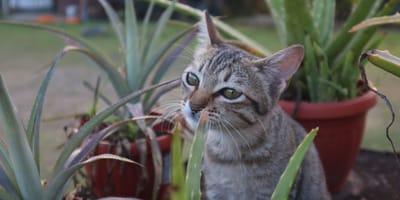 Gesund oder giftig? Wirkung von Aloe Vera auf Katzen