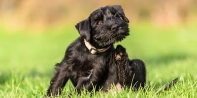 Black dog scratching