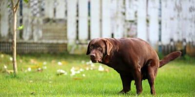 Brown dog pooping