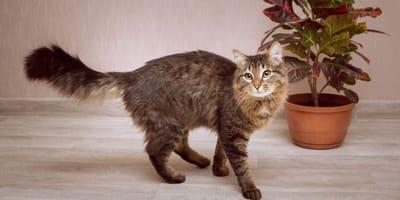 Giftiger Milchsaft: So gefährlich ist der Gummibaum für Katzen
