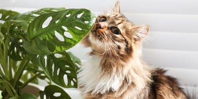 Tropische Gefahr: Monstera ist für Katzen giftig