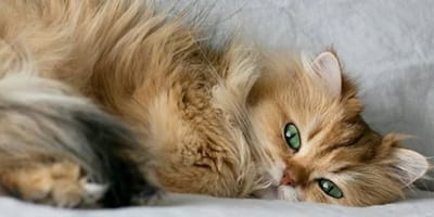 Poznajcie królową. Oto kot brytyjski z najgładszą sierścią świata