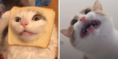 gatos estrellas tiktok