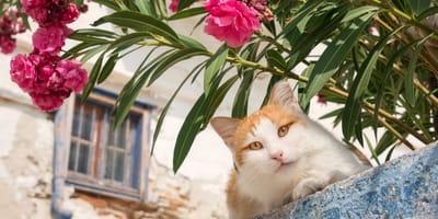 Oleander und Katzen: Vergiftung endet häufig tödlich