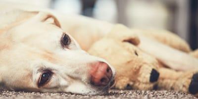 ¿Qué es el embarazo psicológico en perros?