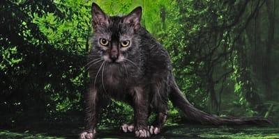 Lykoi – Die sanfte Katze im Wolfspelz