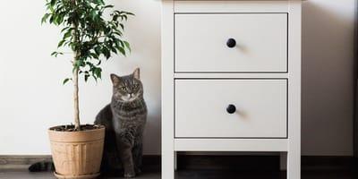 Muss man Katzen vom Ficus benjamini fernhalten?
