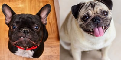 Everything you need to know about the French bulldog cross pug