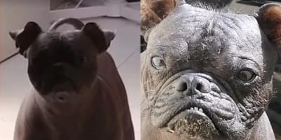 Perro pug xoloitzcuintle