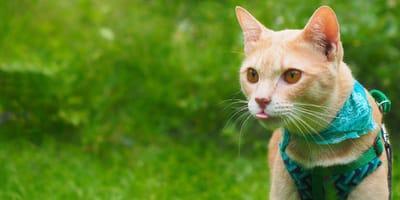 Pechera para gato: cómo elegirla y usarla correctamente