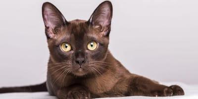 gatto-burmese-steso