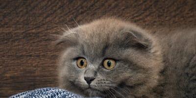 gatto spaventato con orecchie basse