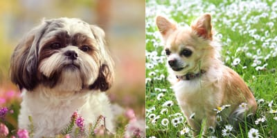 Shih Tzu dog and Chihuahua dog