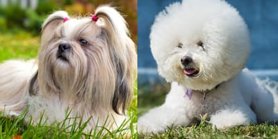 shih tzu with pigtails, bichon frise with fluffy coat