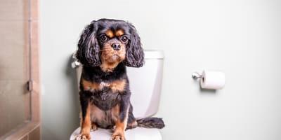 Cómo quitar el olor a orines de perro: ¡elimínalo fácil y rápido!