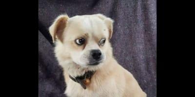 cucciolo-di-cane-color-crema