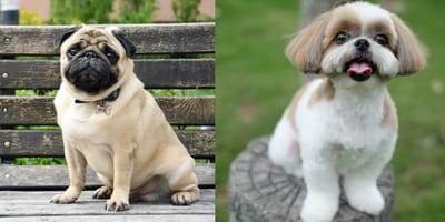Shih tzu and pug