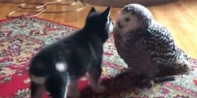 husky puppy licking white owl