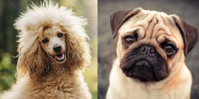 A pug dog and a Poodle dog
