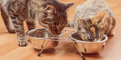 Wohnungskatzen vs. Freigängerkatzen: Worauf muss ich bei der Ernährung achten?
