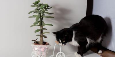 Glückskastanie und Katzen: Harmlose Zimmerpflanze