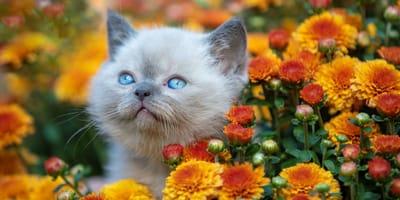 Sind Chrysanthemen giftig für Katzen?