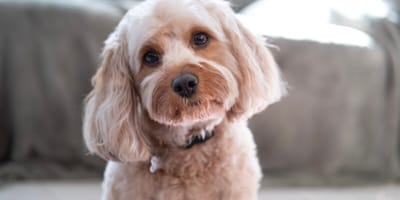 Everything you need to know about the Cavapoo
